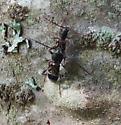 Microclytus compressicollis - male - female