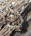 Wolf spider - Arctosa littoralis - female