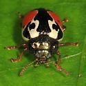 Leaf Beetle - Calligrapha rowena
