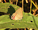 hairstreak - Calycopis isobeon