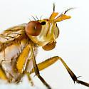 Marsh Fly - Tetanocera - female