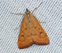 rust moth - Achyra rantalis
