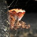 Odd little spider - Ero canionis