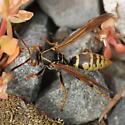 Golden Paper Wasp - Polistes aurifer - female
