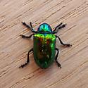 Dogbane Beetle (Chrysochus auratus) - Chrysochus auratus