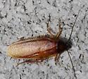 roach - Parcoblatta