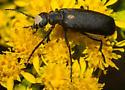 Black blister beetle on goldenrod - Epicauta