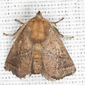 Nason's Slug Moth  - Hodges #4679 - Natada nasoni