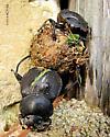 Heavy lifting Deltochilum gibbosum - Deltochilum gibbosum
