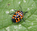 Which bug is this, please? - Murgantia histrionica