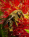 Bee on Bottlebrush - Xylocopa strandi
