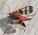 scorpionfly - Panorpa nuptialis - female