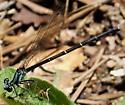 Blue-tipped Dancer female Argia tibialis ? - Argia tibialis - female