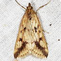 Achyra bifidalis