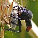 Large Black & Red Robber Fly - Ospriocerus? - Ospriocerus