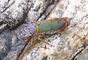 Leafhopper? - Oncometopia alpha