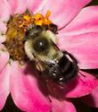 Bumble bee - Bombus impatiens - male