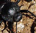 darkling beetle? - Stenomorpha