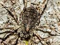 Family Phalangiidae - Odiellus pictus