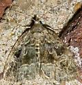 Large Mossy Lithacodia? - Protodeltote muscosula