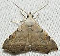 Pygmy Redectis Moth - Redectis pygmaea