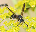black and yellow striped wasp - Ancistrocerus antilope - male