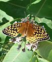 Butterfly - Speyeria cybele - female