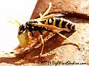 Polistes dominula - European Paper Wasp - Polistes dominula