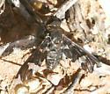 Bee Fly, Villa sp ? - Exoprosopa dorcadion
