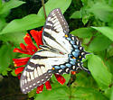 Pale Eastern Tiger Swallowtail  Butterfly - Papilio glaucus - female