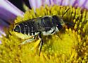 Which Megachile? - Megachile onobrychidis - female