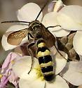 Vespid Wasp Texas - Campsomeris