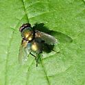 Lucilia for June - Lucilia sericata - male