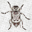 Flat-faced Long-horned Beetle - Leptostylus asperatus