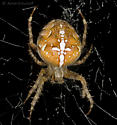 Cross Spider? - Araneus diadematus - female