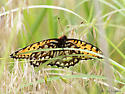 Regal Fritillary - Speyeria idalia - male