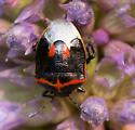 Beetle? - Cosmopepla lintneriana