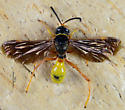 Neat looking wasp of sorts.. - Gorytes willcoxi