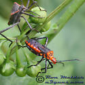 Leaffooted Bug - Phthiacnemia picta
