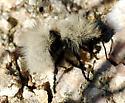 Dasymutilla sp.? - Dasymutilla sackenii - female