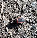 Need Help please to ID: black beetle(?) w/ red edge - thank you
