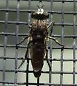 small robber fly - Cyrtopogon lutatius