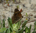 butterfly in the sand - Junonia coenia
