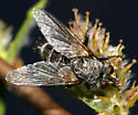 banded fly