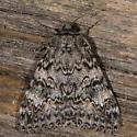 Unknown Moth - Catocala semirelicta