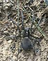 spider in Indiana - Tigrosa aspersa