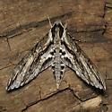 Istar Sphinx - Hodges #7799 - Lintneria istar