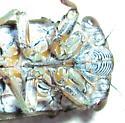 Dog-Day Cicada - Tibicen canicularis