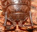 Pillbug - Cylisticus convexus