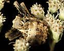 Unknown spider - Acanthepeira